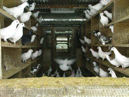 Parquet d'élevage de pigeons