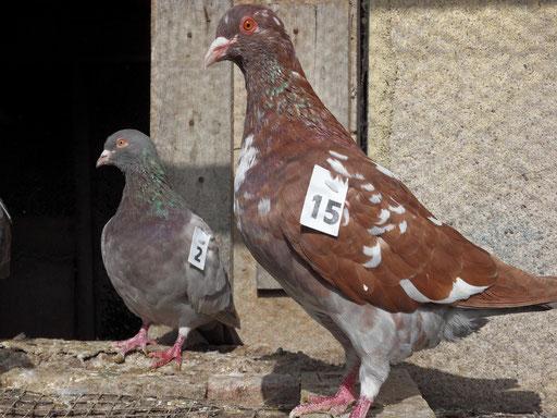 2 pigeonnes numérotées dans la volière