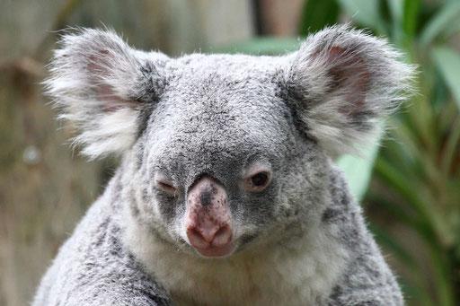 Koala im Zoo Duisburg