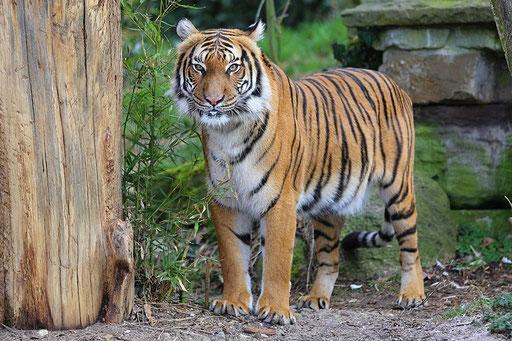 Der Tiger...Zoo Dortmund