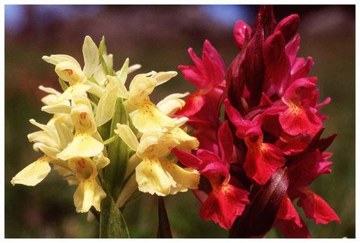 Orchis sureaux jaune et rouge