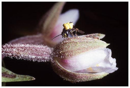 Polinies d'épipactis sur une abeille