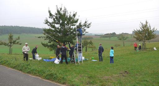 Apfelernte auf der NABU-eigenen Streuobstwiese in Berndorf