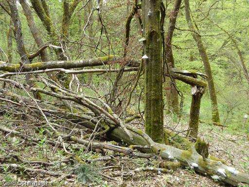 stehendes und liegendes Totholz sind wichtige Elemente im neuen Wald im Selbachtal