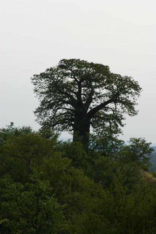 Baobab in der Nähe von Shingwedzi, Kruger Nationalpark