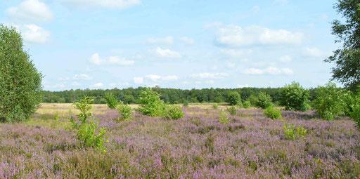 Kaltenkirchener Heide: Heideblüte