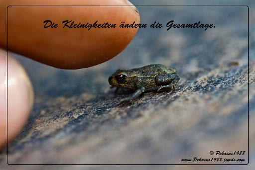 Erdkröte auf einem Erdbohrer. (Bild vom 9.6.2011)