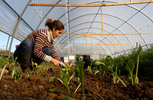 Filipa plants new swiss chards on her natural green house garden on December 2014.