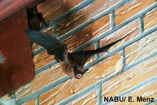 Eine Breitflügelfledermaus verlässt ihr Quartier um auf Insektenjagd zu gehen. Foto: E. Menz