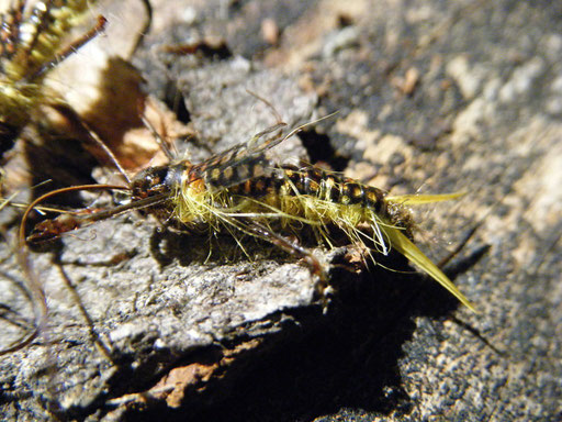Golden Stonefly Nymph