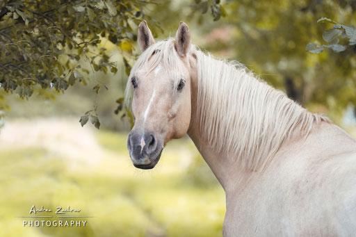 Sabre, American Mustang geb. 2010