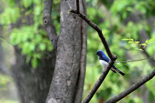 オオルリ  自分だけがこの野鳥を独占している贅沢な一瞬だった