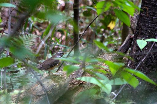 マミチャジナイ  白い眉班が特徴 日本には渡りの途中に飛来する旅鳥
