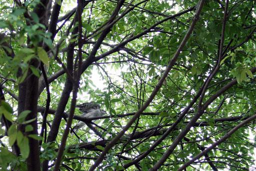 ハイタカ  羽を広げたところ(アップで撮り損ねた)