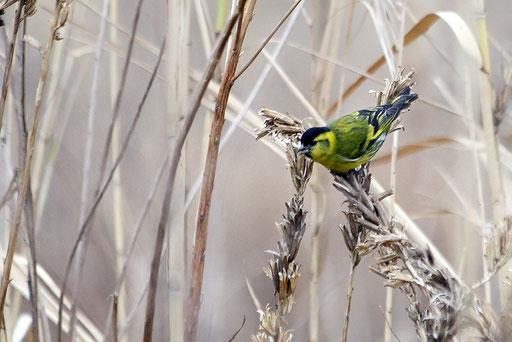 マヒワ・オス  淀川河川敷にこんな野鳥がいることを初めて知った