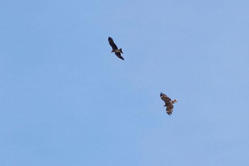 トビ  もう1羽が現れたが何故か羽がボロボロ