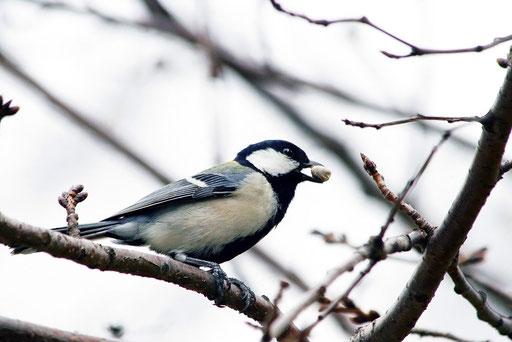 シジュウカラ  一年中見られる留鳥(りゅうちょう)