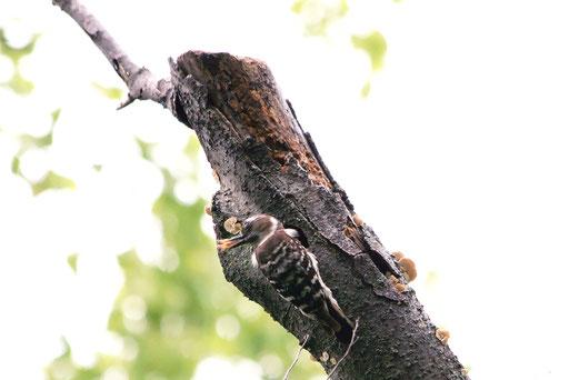 コゲラ  形相がすごい 次々と木屑をくわえてはペッペッと外に放り出す