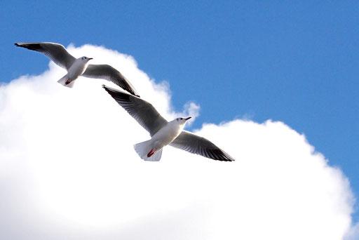 ユリカモメ  青空と白い雲がよく似合う。