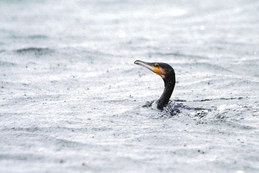 カワウ  すぐに潜るので顔を出すポイントを予測して撮影した。直後にゲリラ豪雨に襲われた