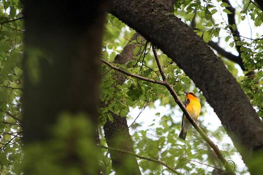 キビタキ  数ヶ月前、野鳥図鑑でキビタキを調べてから、出会うのが楽しみだった
