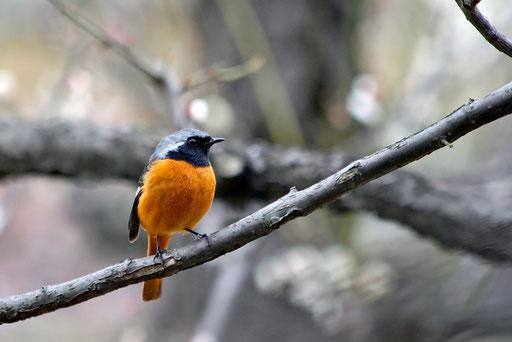 ジョウビタキ  こんなキレイな野鳥に今まで気づかなかったのが不思議