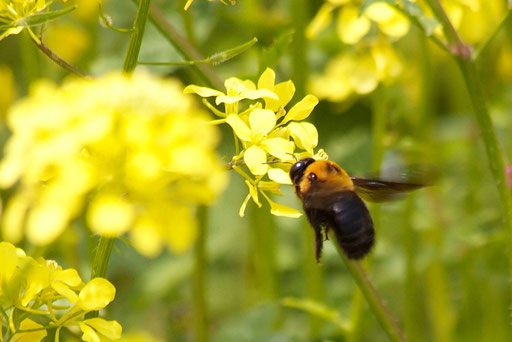 菜の花とクマバチ  迫力がある