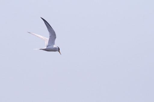 コアジサシ  翼の形が美しい