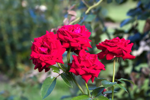 イングリッドバーグマン  薔薇の名前は何でもあり