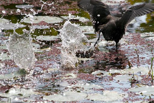 オオバン  激しく水しぶきを上げながら逃げる