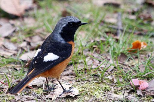 ジョウビタキ  希少種だと思って調べたら身近な冬鳥らしい