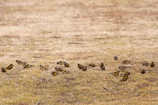 カワラヒワ  群れているのを見つけてあせって撮った