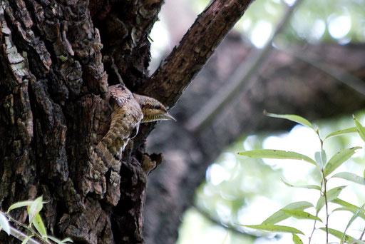 アリスイ  尾羽が幹にペタッとはりついている