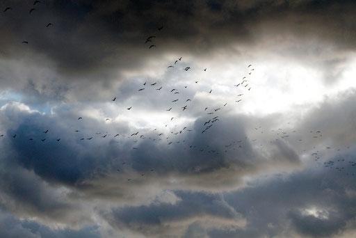ユリカモメ  絵画のような雲