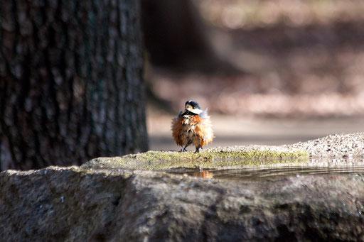 ヤマガラ  新種の巻き毛の野鳥?