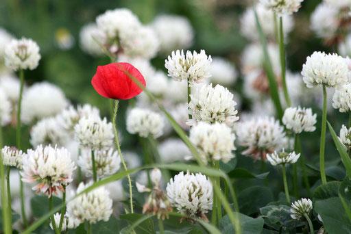 白い花の中に赤い花がポツンと咲いていた