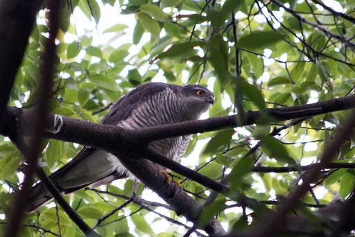 ハイタカ  全身が見える枝の隙間を見つけるのが大変だった