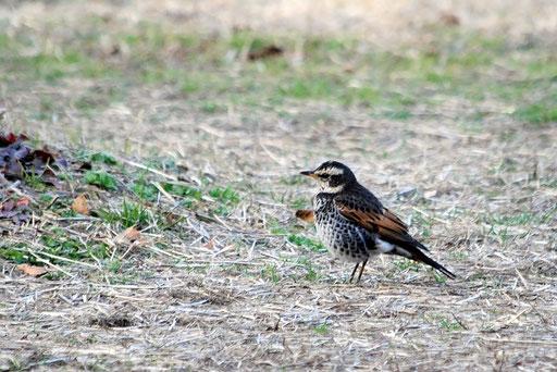 ツグミ  このときはすごい鳥を撮ったと思ったがその後公園や河川敷でよく見かける