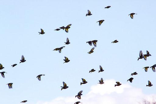 カワラヒワ  小鳥でもこれだけ群れていると壮観