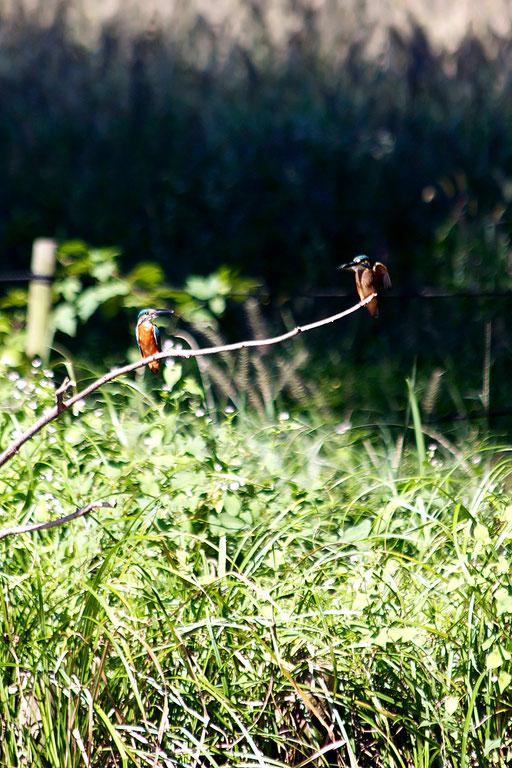カワセミ  2羽目のカワセミが枝先に止まる