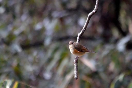 ルリビタキ♀  野鳥と出会ったら、遠くでもとりあえず何枚か撮る…