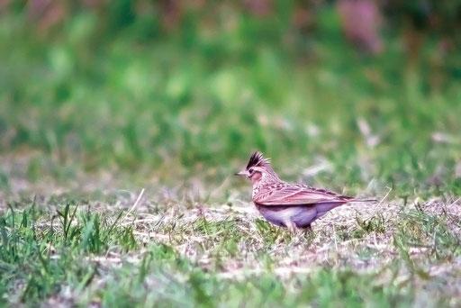 ヒバリ  冠羽が印象的で最初は珍鳥だと思った