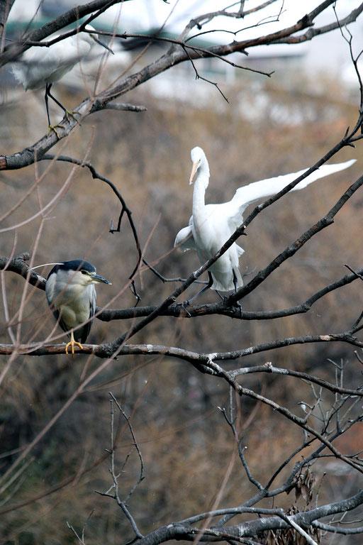 上コサギ・左ゴイサギ・右チュウサギ  サギのなる木