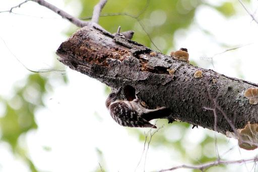 コゲラ  木屑が飛び散っている