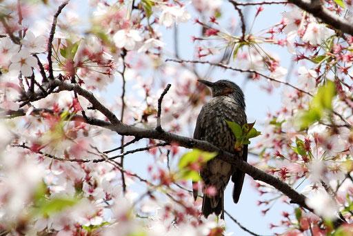 ヒヨドリ  桜を観賞している