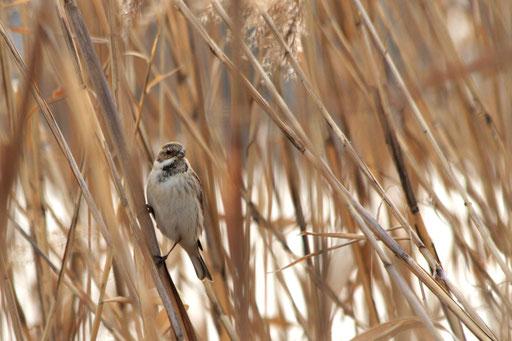 オオジュリン  たぶん♂ 冬羽はオスメスの区別がむずかしい
