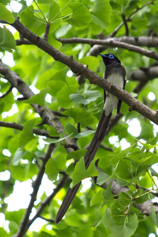 サンコウチョウ  さえずり声が「ツキヒーホシ(月日星)、ホイホイホイ」と聞こえるので三光鳥