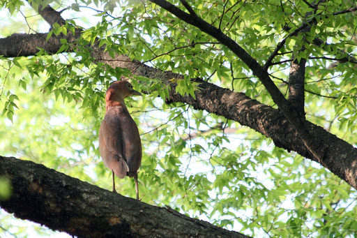 ミゾゴイ  繁殖期にはボォーボォーと鳴く