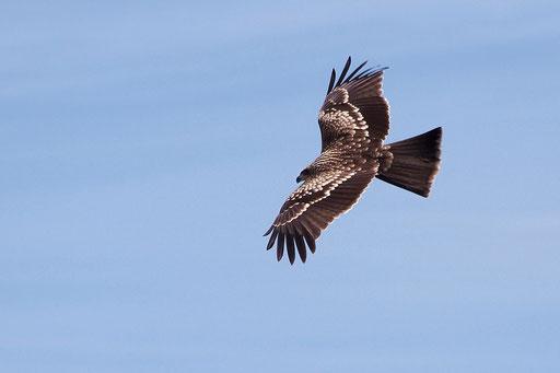 トビ  背中の羽模様が美しい