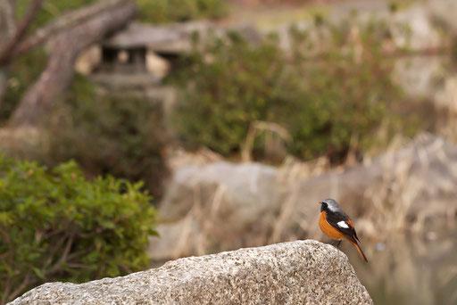ジョウビタキ  絵になる野鳥で撮りやすい